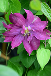 Fireflame Clematis (Clematis 'KBK01') at Roger's Gardens