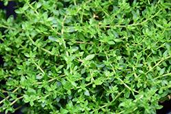 Rupturewort (Herniaria glabra) at Roger's Gardens