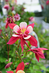 Origami Red and White Columbine (Aquilegia 'Origami Red and White') at Roger's Gardens