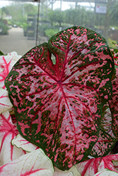 Carolyn Whorton Caladium (Caladium 'Carolyn Whorton') at Roger's Gardens