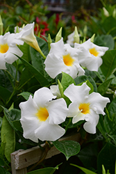 Madinia White Mandevilla (Mandevilla 'Madinia White') at Roger's Gardens