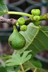 Kadota Fig (Ficus carica 'Kadota') at Roger's Gardens