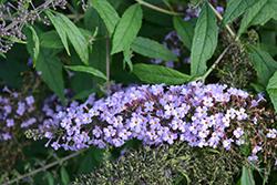Lavender Cascade Butterfly Bush (Buddleia 'Lavender Cascade') at Roger's Gardens