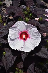 Dark Mystery Hibiscus (Hibiscus 'Dark Mystery') at Roger's Gardens