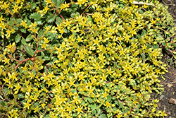 Rock 'N Low Yellow Brick Road Stonecrop (Sedum 'Yellow Brick Road') at Roger's Gardens