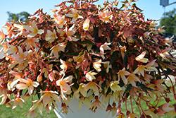 Bossa Nova Yellow Begonia (Begonia boliviensis 'Bossa Nova Yellow') at Roger's Gardens