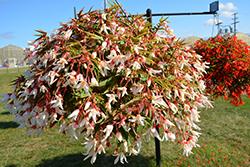 Bossa Nova Pure White Begonia (Begonia boliviensis 'Bossa Nova Pure White') at Roger's Gardens