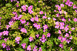 Snowstorm Rose Bacopa (Sutera cordata 'Snowstorm Rose') at Roger's Gardens