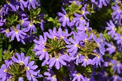 Whirlwind Blue Fan Flower (Scaevola aemula 'Whirlwind Blue') at Roger's Gardens