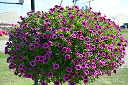 Superbells Blackcurrent Punch Calibrachoa (Calibrachoa 'BBCAL81801') at Roger's Gardens