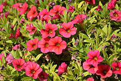 Superbells Tabletop Red Calibrachoa (Calibrachoa 'BBCAL83901') at Roger's Gardens