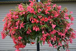 Funky Pink Begonia (Begonia 'Funky Pink') at Roger's Gardens