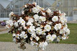 Nonstop Joy Mocca White Begonia (Begonia 'Nonstop Joy Mocca White') at Roger's Gardens