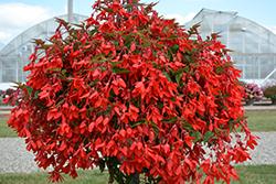 Waterfall Encanto Red Begonia (Begonia boliviensis 'Encanto Red') at Roger's Gardens