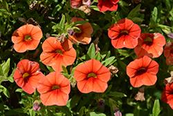 Cabaret Orange Calibrachoa (Calibrachoa 'Balcaborim') at Roger's Gardens