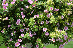 MegaCopa Pink Bacopa (Sutera cordata 'Balmecopinim') at Roger's Gardens