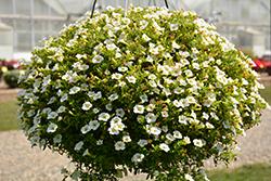 Cabaret Bright White Calibrachoa (Calibrachoa 'Balcabriw') at Roger's Gardens
