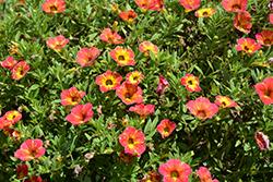 Cabaret Diva Orange Calibrachoa (Calibrachoa 'Balcabivor') at Roger's Gardens