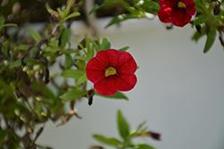 Cabaret Red Calibrachoa (Calibrachoa 'Balcabred') at Roger's Gardens