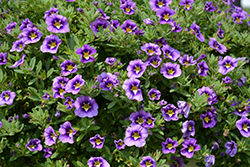 Can-Can Bumble Bee Blue Calibrachoa (Calibrachoa 'Balcanumlu') at Roger's Gardens