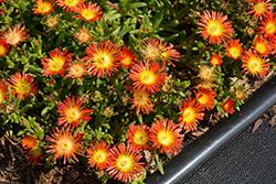 Delmara Red Ice Plant (Delosperma 'Delmara Red') at Roger's Gardens