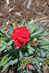 Constant Beauty Red Pinks (Dianthus 'Constant Beauty Red') at Roger's Gardens