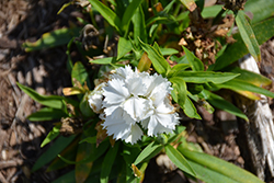 Constant Promise White Pinks (Dianthus 'Constant Promise White') at Roger's Gardens