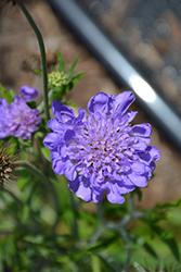 Giga Blue Pincushion Flower (Scabiosa 'Giga Blue') at Roger's Gardens