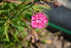 Rockin' Rose Pinks (Dianthus 'PAS1350215') at Roger's Gardens