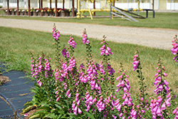 Pink Panther Foxglove (Digitalis 'Pink Panther') at Roger's Gardens