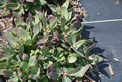 Touchdown Breeze Stonecrop (Sedum 'Touchdown Breeze') at Roger's Gardens