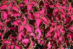 Chocolate Covered Cherry Coleus (Solenostemon scutellarioides 'Chocolate Covered Cherry') at Roger's Gardens