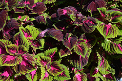 Kong Red Coleus (Solenostemon scutellarioides 'Kong Red') at Roger's Gardens