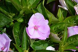 SunPatiens Compact Orchid Blush Impatiens (Impatiens 'SAKIMP041') at Roger's Gardens