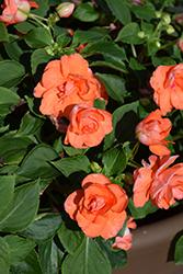 Rockapulco Orange Impatiens (Impatiens 'Rockapulco Orange') at Roger's Gardens