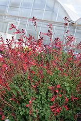 Roman Red Salvia (Salvia 'Roman Red') at Roger's Gardens