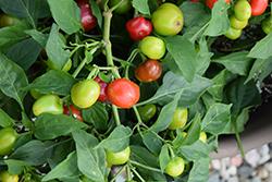 Nosegay Hot Pepper (Capsicum annuum 'Nosegay') at Roger's Gardens