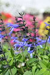 Rockin' Blue Suede Shoes (Salvia 'BBSAL01301') at Roger's Gardens