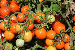 Tempting Tomatoes Goodhearted Tomato (Solanum lycopersicum 'Goodhearted') at Roger's Gardens