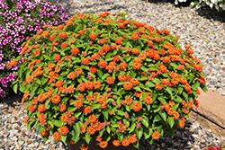 Hot Blooded Red Lantana (Lantana camara 'Hot Blooded Red') at Roger's Gardens