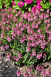 Serenita Rose Angelonia (Angelonia angustifolia 'PAS1141456') at Roger's Gardens