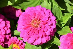 Zesty Pink Zinnia (Zinnia elegans 'Zesty Pink') at Roger's Gardens