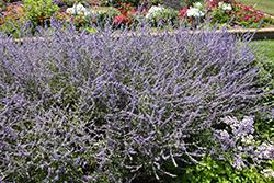 Crazy Blue Russian Sage (Perovskia atriplicifolia 'Crazy Blue') at Roger's Gardens