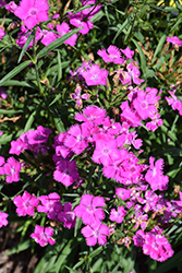 Rockin' Purple Pinks (Dianthus 'PAS1350219') at Roger's Gardens