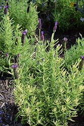 Javelin Forte Deep Purple Lavender (Lavandula stoechas 'Javelin Forte Deep Purple') at Roger's Gardens