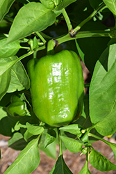 Lady Bell Sweet Pepper (Capsicum annuum 'Lady Bell') at Roger's Gardens