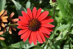 Kismet Red Coneflower (Echinacea 'TNECHKRD') at Roger's Gardens