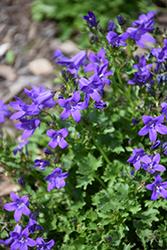 Clockwise Compact Deep Blue Dalmatian Bellflower (Campanula portenschlagiana 'Clockwise Compact Deep Blue') at Roger's Gardens