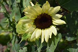 ProCut Lemon Sunflower (Helianthus annuus 'ProCut Lemon') at Roger's Gardens