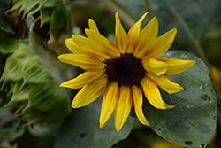 Firecracker Sunflower (Helianthus annuus 'Firecracker') at Roger's Gardens